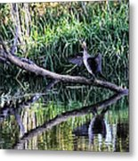 drying cormorant- Black bird sitting on log over water Metal Print