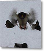 Duck Crash Landing Metal Print