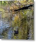 Duck On Pond Metal Print