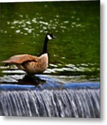Duck On The River Wye Waterfall - In Bakewell Peak District - England Metal Print