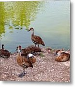Duck Pond Metal Print