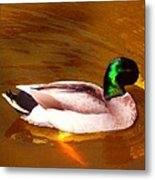 Duck Swimming On Golden Pond Metal Print