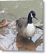 Duck Wading In A Stream Metal Print