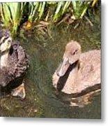 Duckies In The Pond Metal Print