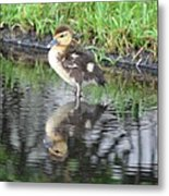 Duckling With Reflection Metal Print