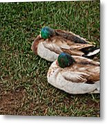 Ducks At Rest Metal Print