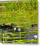 Ducks In Lily Pond Metal Print