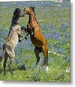 Dueling Mustangs Metal Print