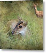 Duiker Endangered Antelope Metal Print