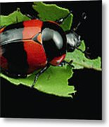 Dung Beetle Panama Metal Print