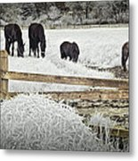 Dutch Friesian Horses Behind A Wooden Fence In A Pasture Metal Print