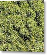 Dwarf Evergreen Metal Print