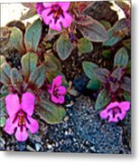 Dwarf Purple Monkeyflower In Lava Beds Nmon-ca Metal Print