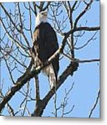 Bald Eagle Sunny Perch Metal Print