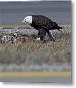 Eagle Feeding Metal Print