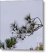 Eagle In The Pines Metal Print