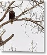 Eagle In Tree Metal Print