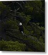 Eagle In White Pine Metal Print