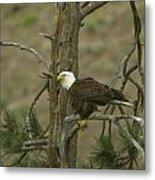 Eagle On A Tree Branch Metal Print