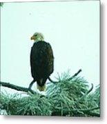 Eagle On A Frozen Pine Metal Print by Jeff Swan