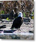 Eagle Posing By Water Metal Print