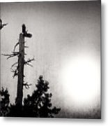 Eagles And Old Tree In Sunset Silhouette Metal Print