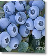 Early Blue Blueberries Metal Print
