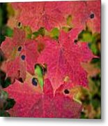 Early Fall Of Norway Maple Metal Print
