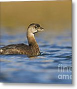 Early Morning Grebe Metal Print