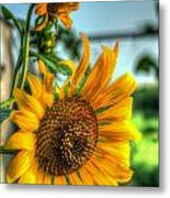 Early Morning Sunflower Metal Print
