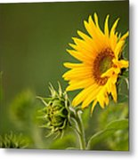 Early Morning Sunflowers Metal Print