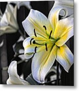 Easter Lily On Black Metal Print