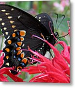 Eastern Black Swallowtail And Bee Balm Metal Print