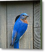 Eastern Bluebird At Nest Metal Print