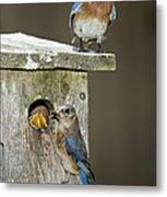 Eastern Bluebird Family Metal Print