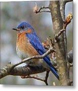 Eastern Bluebird In A Pear Tree Metal Print