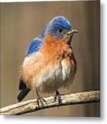 Eastern Bluebird Male Ruffled Metal Print