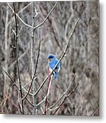 Eastern Bluebird Metal Print