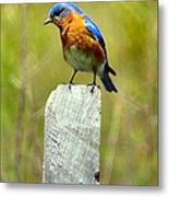 Eastern Bluebird Pose Metal Print