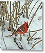 Eastern Cardinal - Cardinalis Cardinalis Metal Print