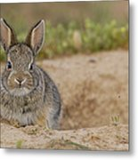 Eastern Cottontail Wyoming Metal Print