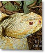 Eastern Diamondback Rattlesnake Albino Metal Print