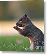 Eastern Fox Squirell Metal Print by Brandon Alms