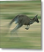 Eastern Grey Kangaroo Female Hopping Metal Print