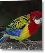 Eastern Rosella Metal Print by Gerald Murray Photography
