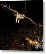 Eastern Screech Owl Hunting Metal Print