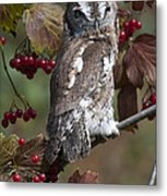 Eastern Screech Owl Red And Gray Phases Metal Print