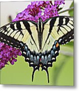 Eastern Swallowtail  Metal Print