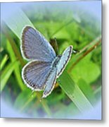 Eastern-tailed Blue Butterfly - Cupido Comyntas Metal Print
