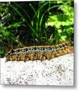 Eastern Tent Caterpillar Metal Print